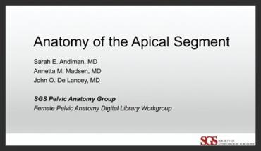 THE ANATOMY OF THE APICAL SEGMENT